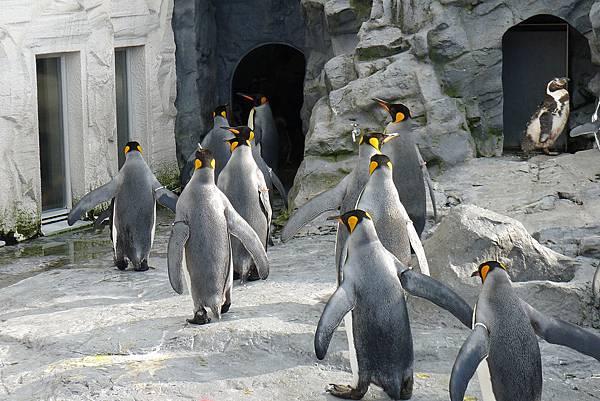 20130818企鵝餵食秀--吃飽回家