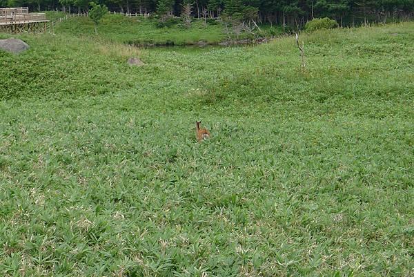 20130821知床1隻鹿