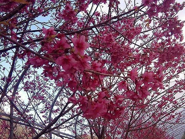 PAYAS櫻花1