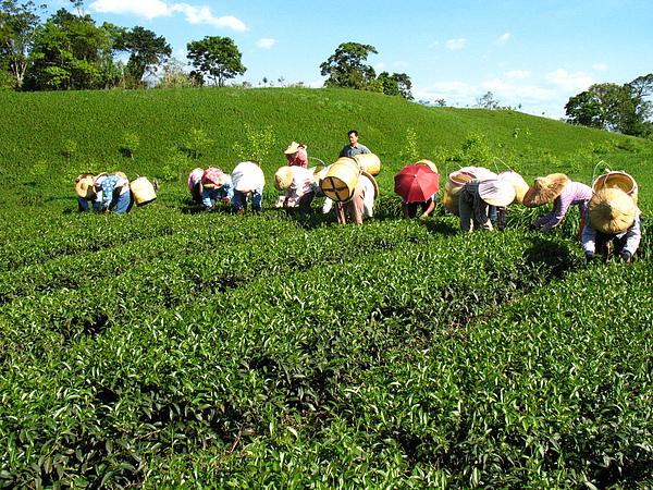 赤科農場-製茶 (35).jpg