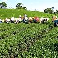 赤科農場-製茶 (36).jpg