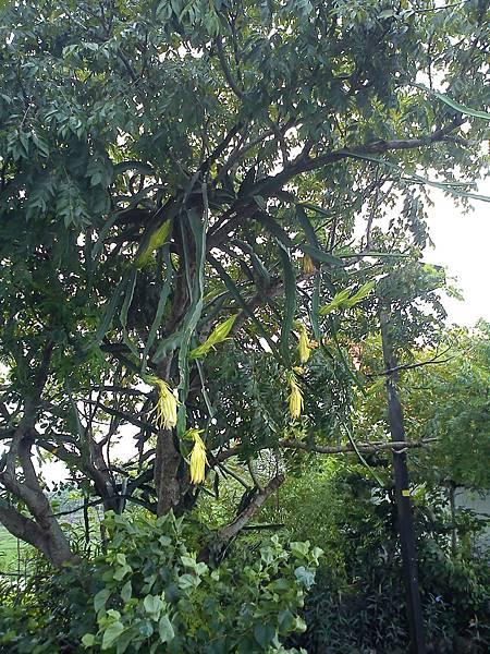 攀附在台灣欒樹的火龍果
