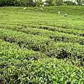 茶園景觀 (3).jpg