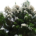 澳洲茶樹開花 001.jpg