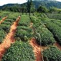 茶園鋪地毯 (2).jpg