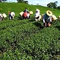 赤科農場-製茶 (40).jpg