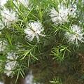 澳洲茶樹開花 005.jpg