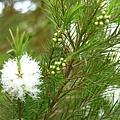 澳洲茶樹開花 007.jpg