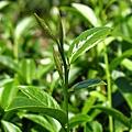 茶園景觀 (2).jpg