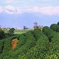 茶園景觀.jpg
