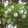 澳洲茶樹開花 004.jpg