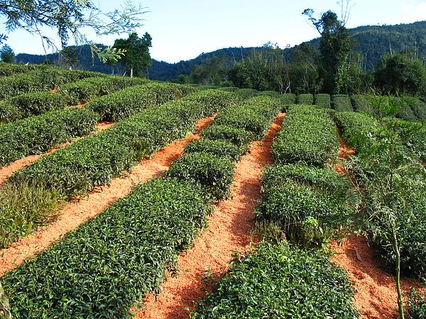 茶園鋪地毯 (1).jpg