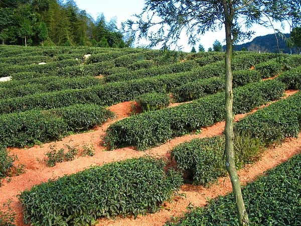 茶園鋪地毯 (3).jpg