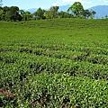 赤科農場-製茶 (39).jpg
