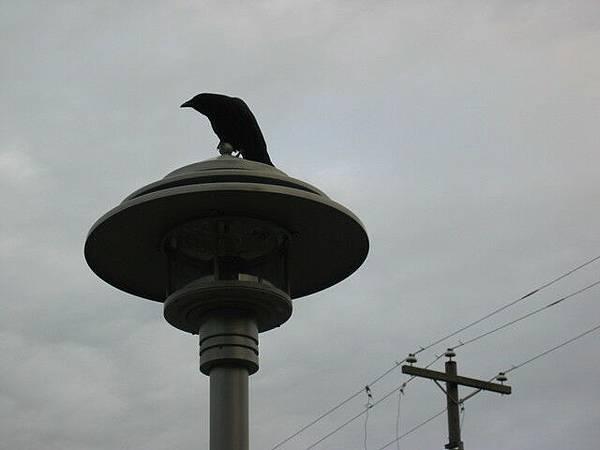 溫哥華烏鴉也不少