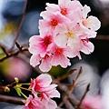 中正紀念堂的櫻花_03.jpg