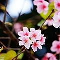 中正紀念堂的櫻花_04.jpg