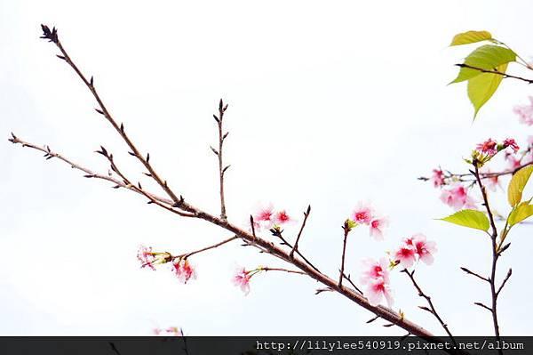 中正紀念堂的櫻花_16.jpg