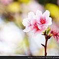 中正紀念堂的櫻花_22.jpg