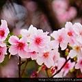 中正紀念堂的櫻花_28.jpg