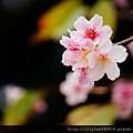 中正紀念堂的櫻花_30.jpg