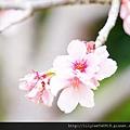 中正紀念堂的櫻花_32.jpg