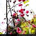 中正紀念堂的櫻花_33.jpg