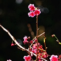 中正紀念堂的櫻花_34.jpg