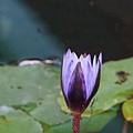 植物園蓮花_02.jpg