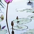 植物園蓮花_16.jpg