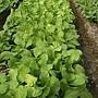 農場自種有機蔬菜-1