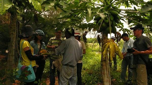 農改場學習挑選木瓜