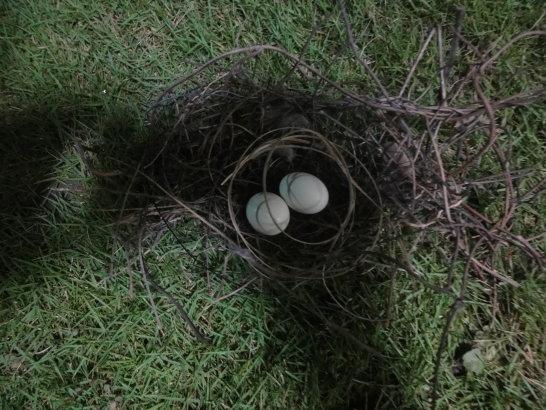 窗邊的鳥巢及鳥蛋
