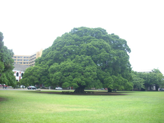 大榕樹 保護傘.jpg