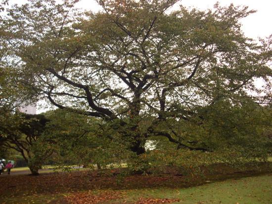 新宿櫻花樹.jpg