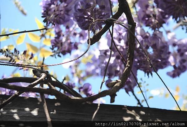 1070331_紫藤圖二.jpg