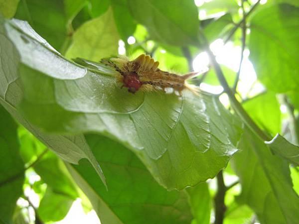 小白紋毒蛾~幼蟲