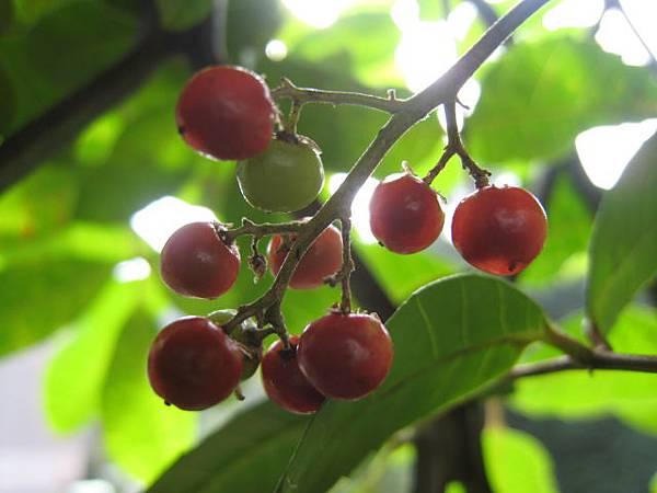 巴西乳香的熟果