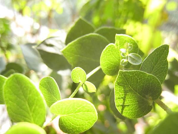 香草植物~蘋果桉