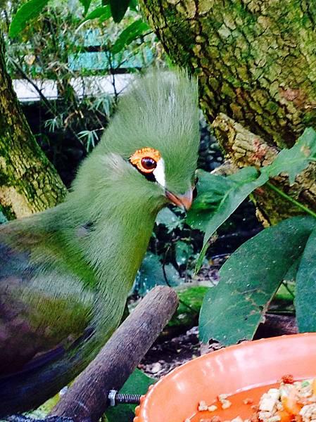 綠絲冠僧帽鳥