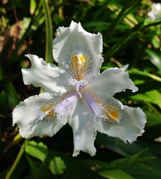 日本鳶尾花