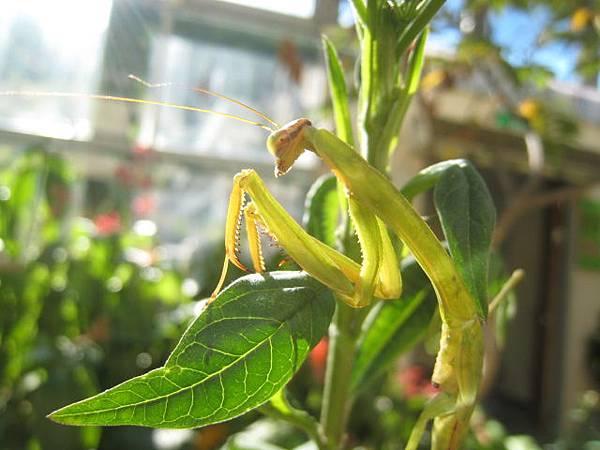 螳螂~若蟲