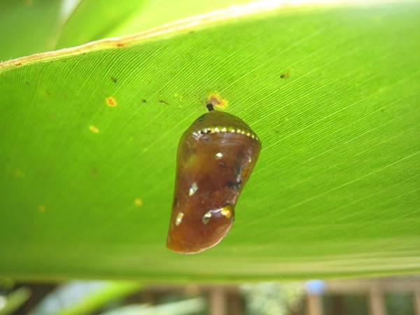 斑蝶蛹 (4).JPG