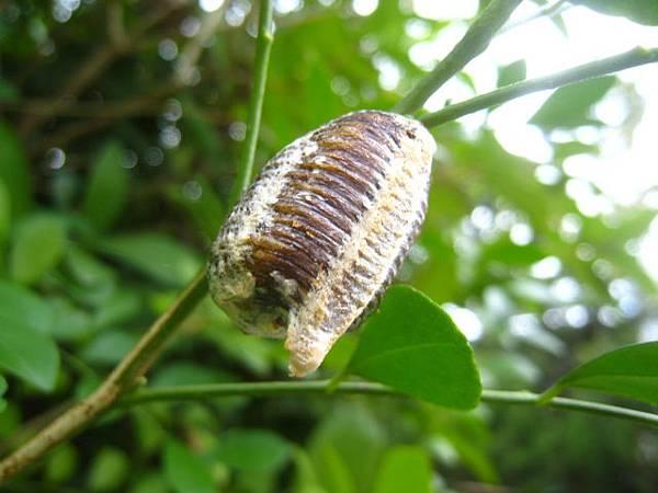 寬腹螳螂的卵囊~(螵鞘)