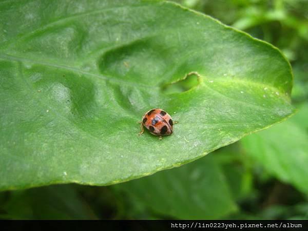 中華食植瓢蟲