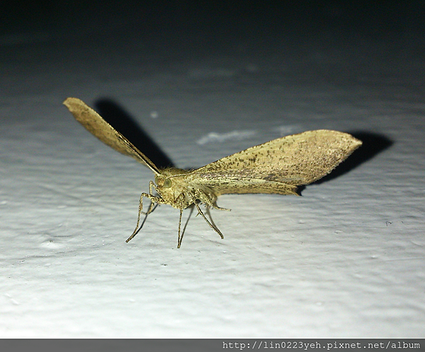 雙斑鉤尺蛾
