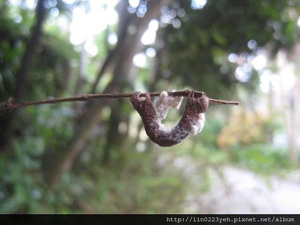 小繭蜂(小繭)&尺蛾幼蟲