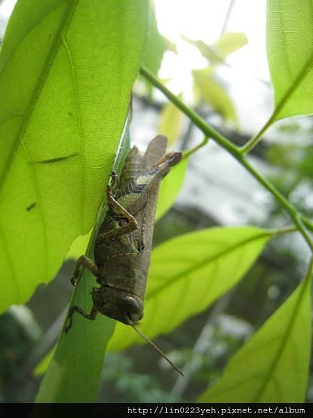 斑腿蝗科~蝗蟲