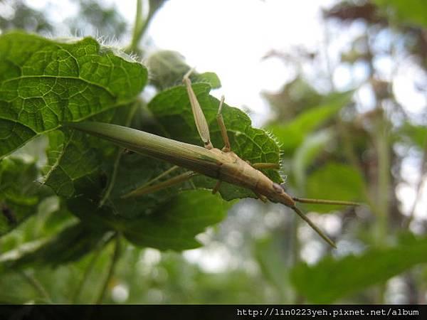 錐頭蝗科~蝗蟲