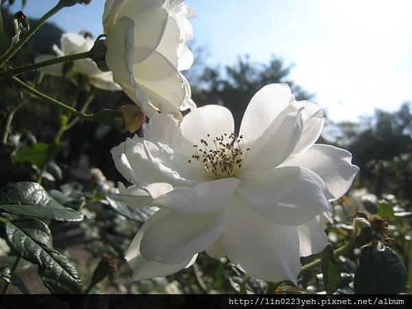 白玫瑰花.JPG